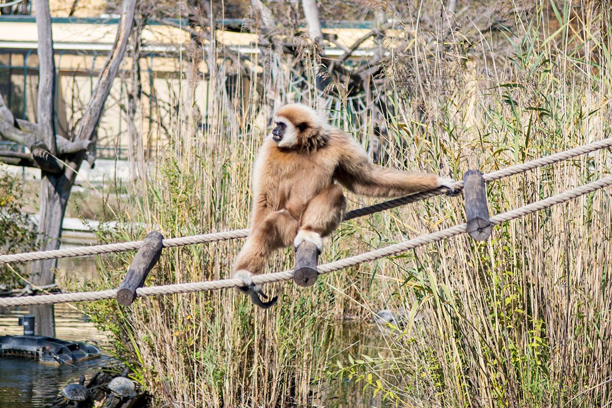 Обезьянья популяция зоопарка Шенбрунна обеспечена не только крытыми помещениями, для них и на улице есть территория для прогулок.
