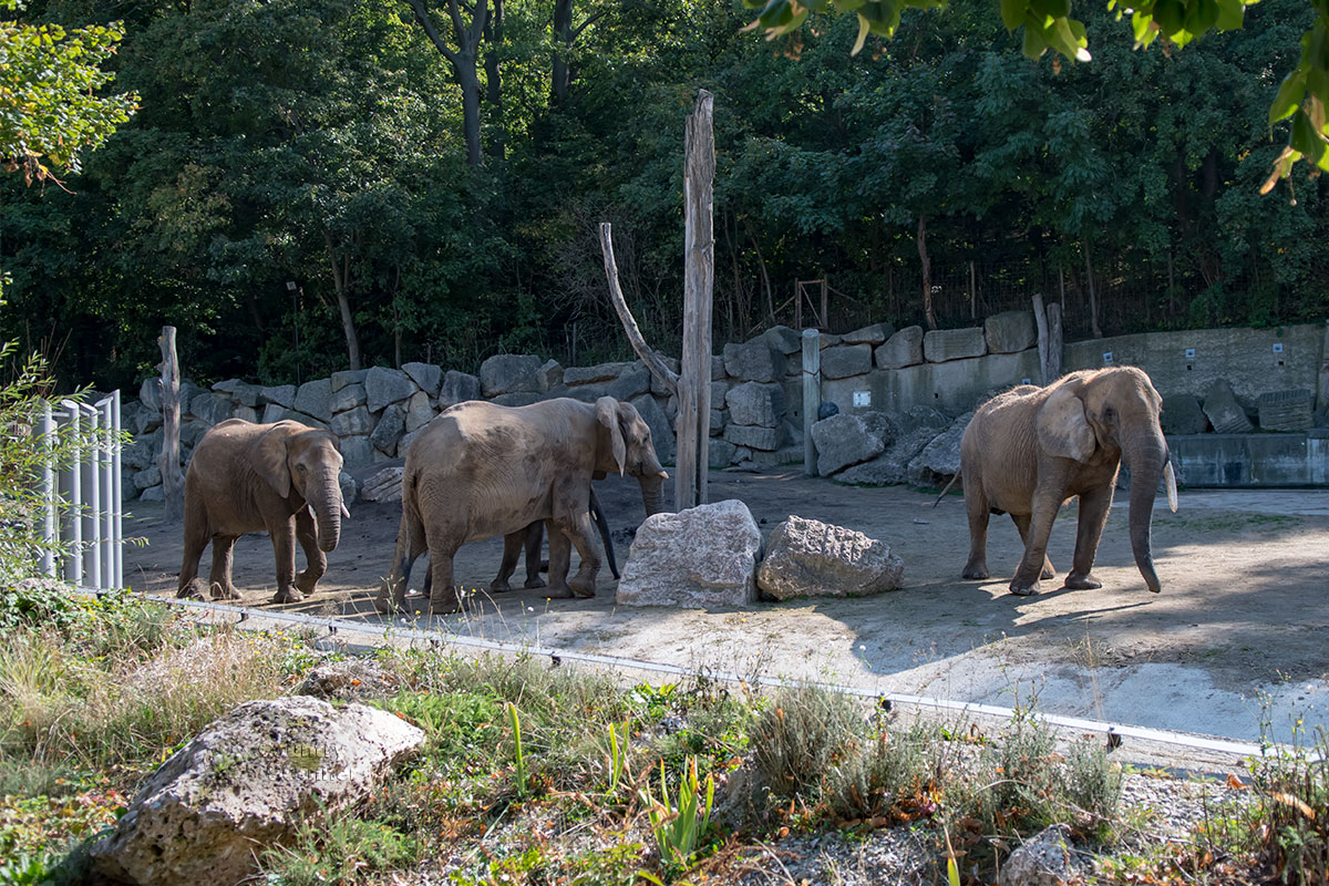Семейству африканских слонов зоопарк Шенбрунна предоставил просторный вольер, огражденный каменной стеной из огромных глыб.
