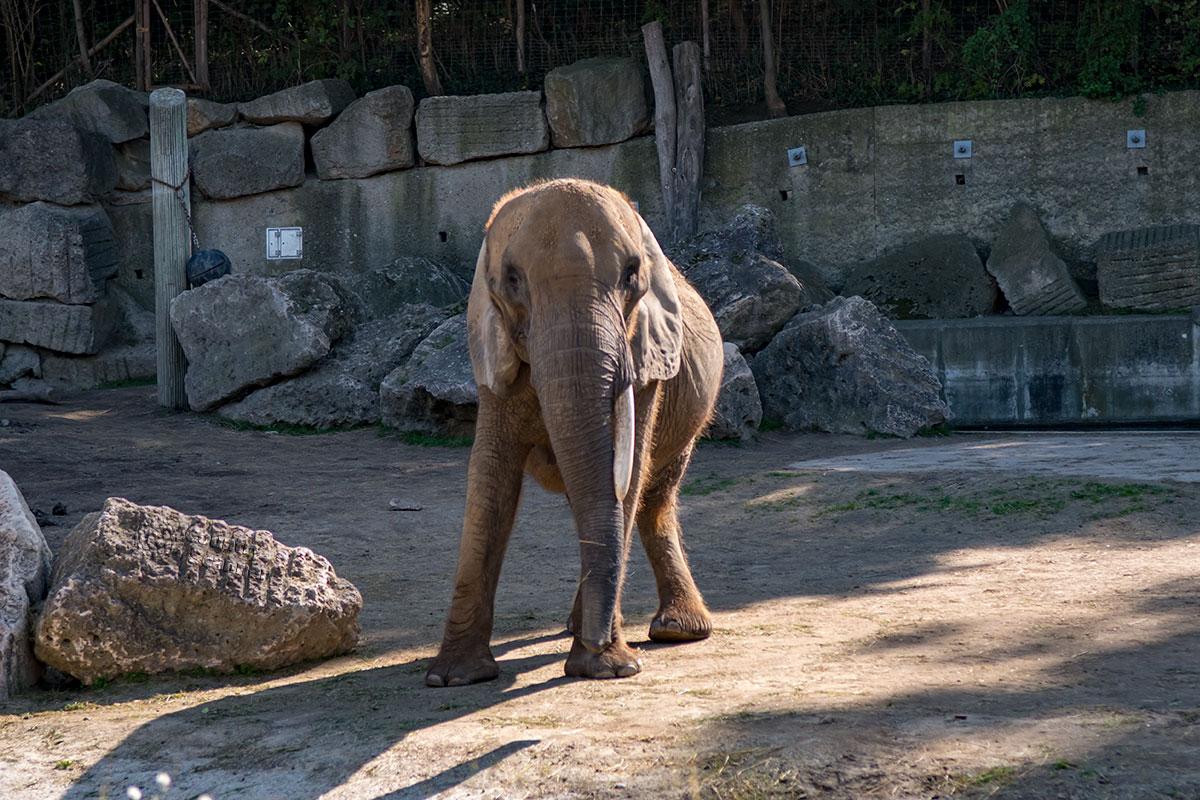 Слон в вольере зоопарка Шенбрунна охотно демонстрирует собственное строение, в том числе главное свое отличие – хобот, сросшуюся с носом верхнюю губу.