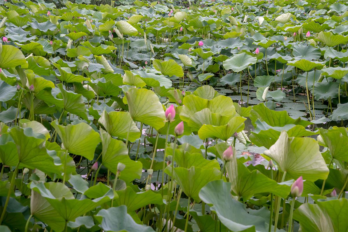 Заросший лотосами водоем – одна из живописнейших природных достопримечательностей пекинского парка развлечений Happy Valley.