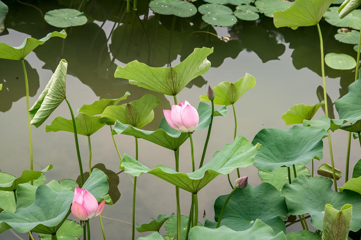 На фотографии цветущего лотоса в парке развлечений Happy Valley можно рассмотреть его разные листья, плавающие и возвышающиеся.