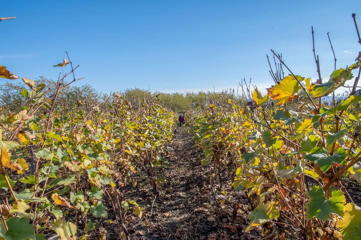 Время путешествия в Грузию с посещением музея Нумиси по сезону совпало со сбором урожая винограда, годовалые листья начинали увядать.