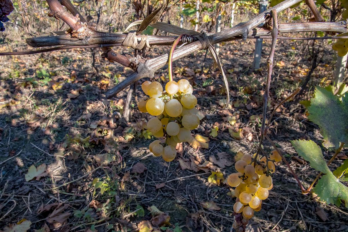 Музей Нумиси на своем винограднике наглядно демонстрирует приемы ухода за лозой, их подвязку и обрезку, без которых не обойтись.