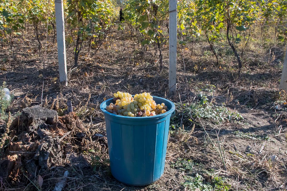 Не только показать, но и поучаствовать в сборе урожая винограда предлагает музей Нумиси прибывшим вовремя посетителям.