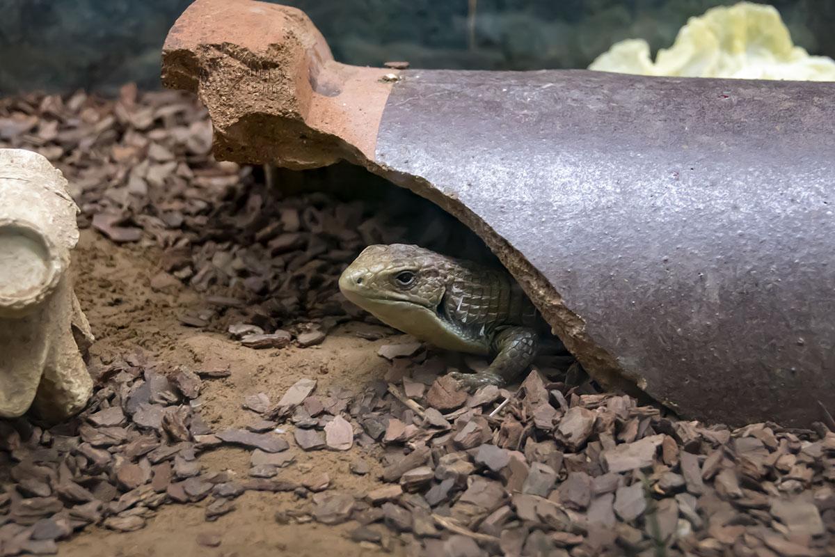 Можно подолгу наблюдать за поведением земноводных в пекинском зоопарке, не отрывая взгляда от прячущейся под черепком ящерицы.