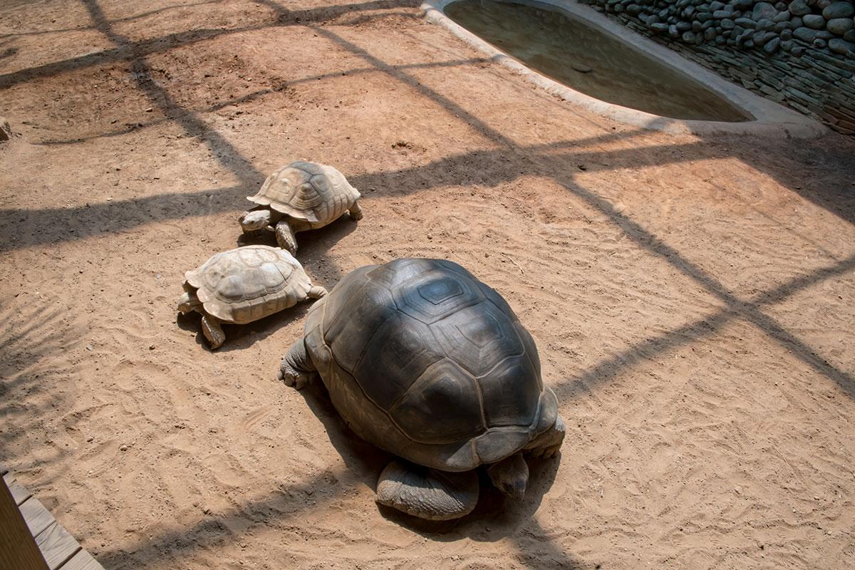 Сухопутные черепахи в пекинском зоопарке успешно откладывают яйца в песок, затем высиживают и воспитывают подрастающих малышей.