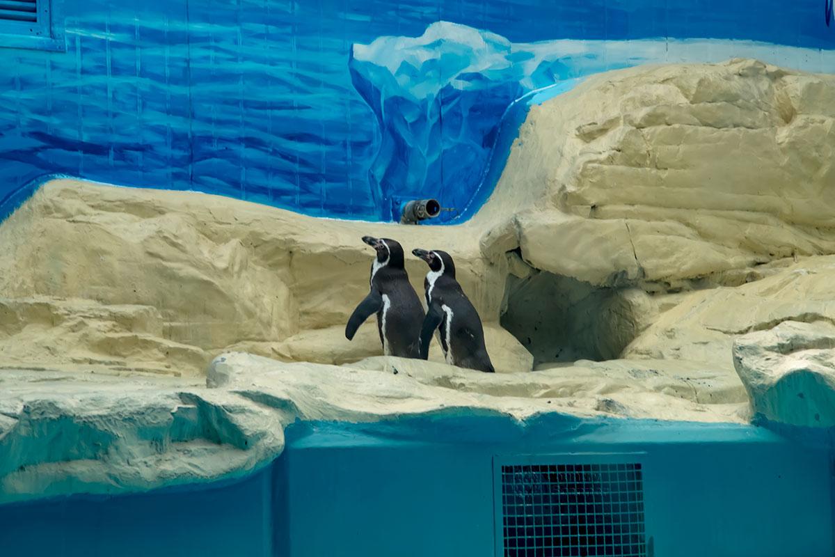 Натуральных льдов своим пингвинам пекинский зоопарк не обеспечил, но в остальном нелетающие птицы чувствуют себя комфортно.