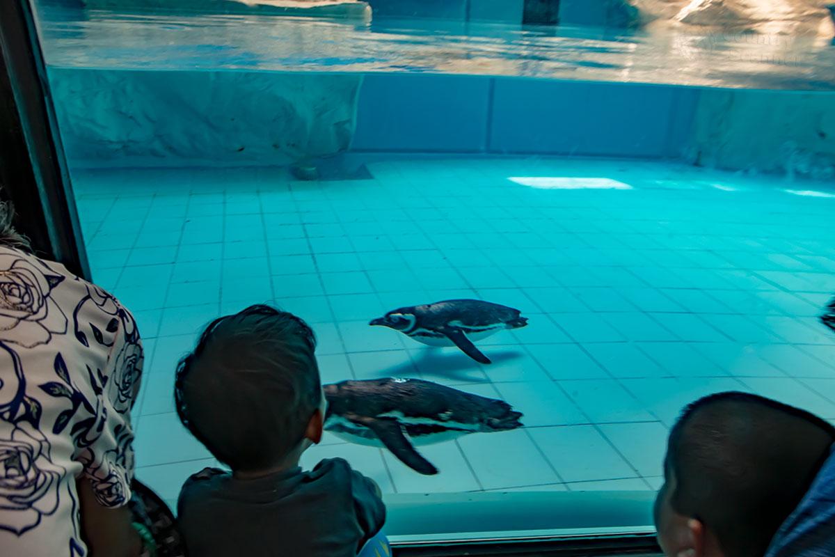 Бассейн павильона пингвинов пекинского зоопарка позволяет им демонстрировать, а зрителям – наблюдать способности к подводному плаванию.