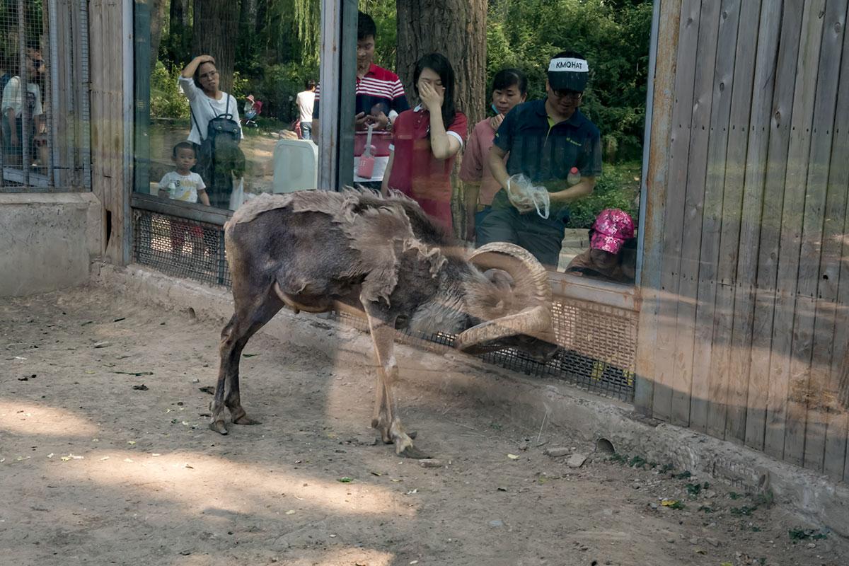 Кормление содержащихся в пекинском зоопарке животных теоретически запрещено, а на практике их постоянно угощают.