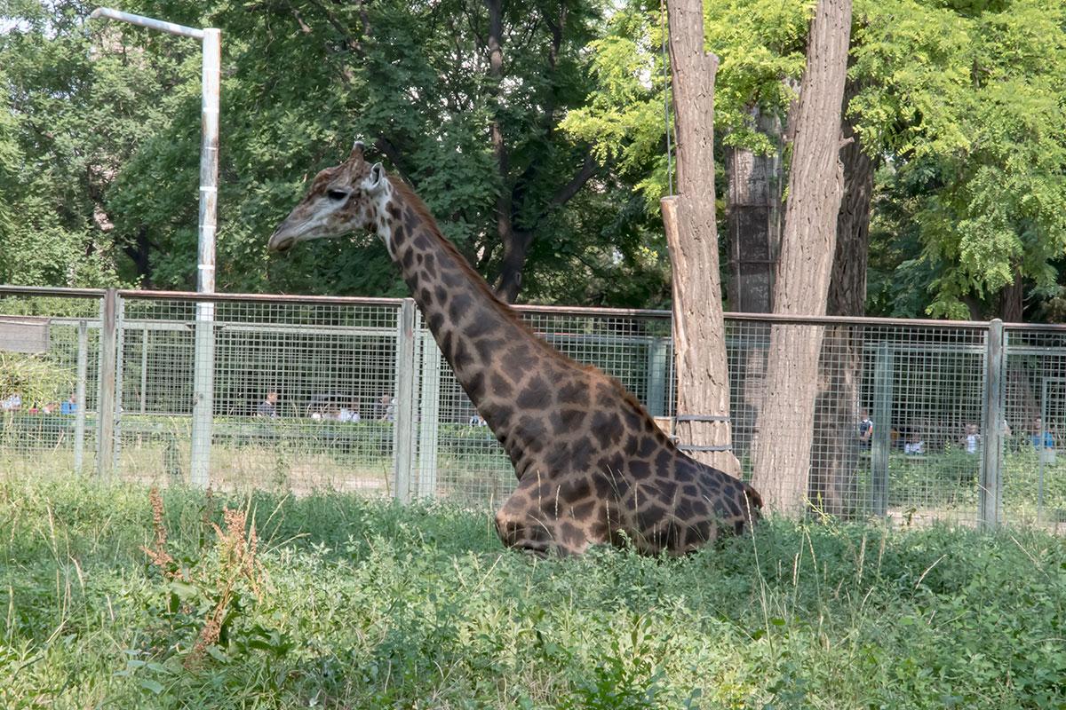 Среди множества питомцев пекинского зоопарка покормить вряд ли удастся клетчатого жирафа, его кормушка – на высоте баскетбольного кольца.