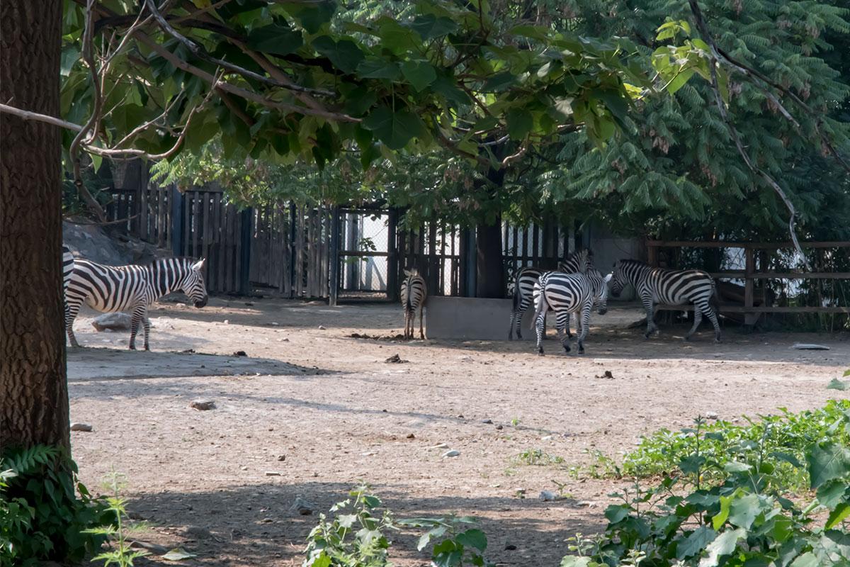 Пекинский зоопарк содержит небольшой табун полосатых зебр, которые в условиях вольерного содержания неплохо размножаются.