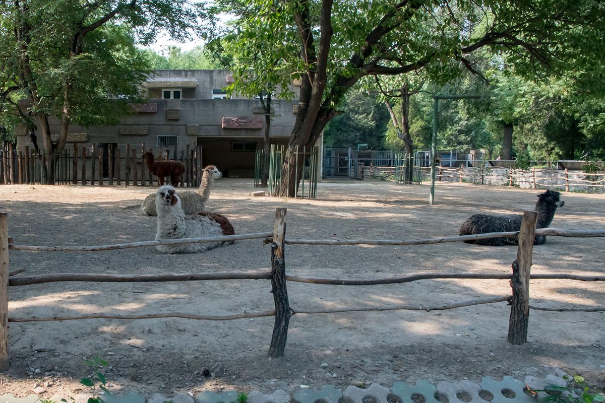 Южноамериканские ламы пекинского зоопарка к условиям содержания вполне приспособились и чувствуют себя здесь достаточно комфортно.