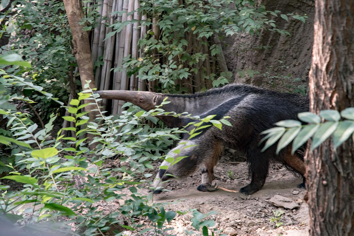Одним из самых заметных обитателей пекинского зоопарка является большой муравьед, в дикой природе уничтожающий термитов Южной Америки.