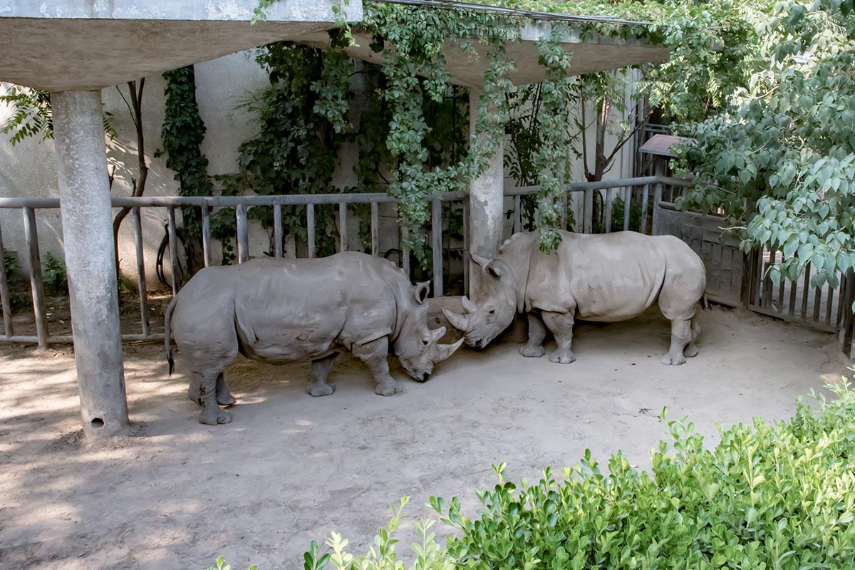 Африканские белые носороги в пекинском зоопарке на самом деле серые, как и черные, просто в природе валяются в грязи разного цвета.