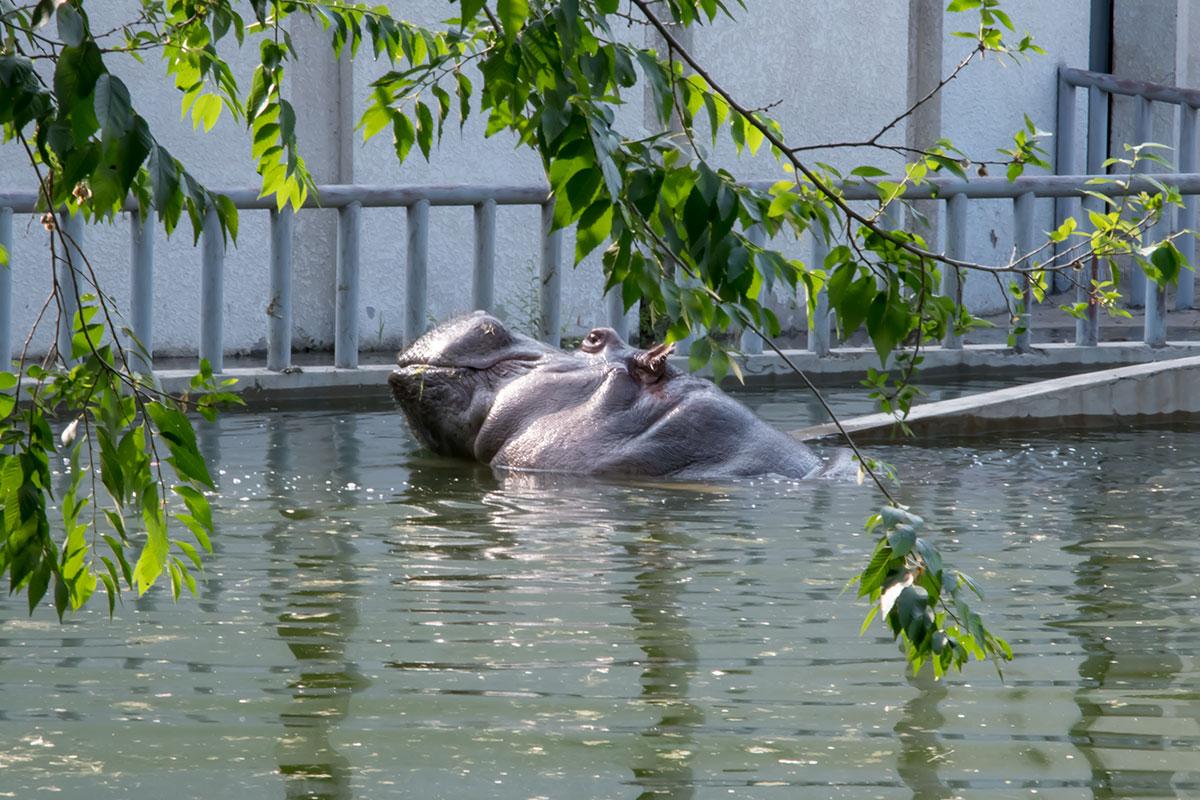 Бегемот – гиппопотам пекинского зоопарка соблюдает природный распорядок, принимая ванны после приема пропитания.