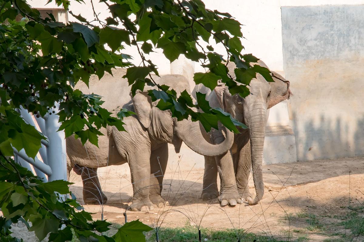 Пара африканских слонов в пекинском зоопарке довольны и кормежкой, и обращением, поэтому непринужденно позируют перед объективами.