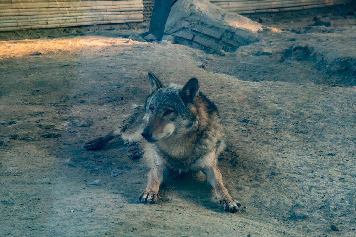 Обыкновенный серый волк в псовом вольере пекинского зоопарка чувствует себя властелином, здесь его превосходящий конкурент, медведь, в другом месте.
