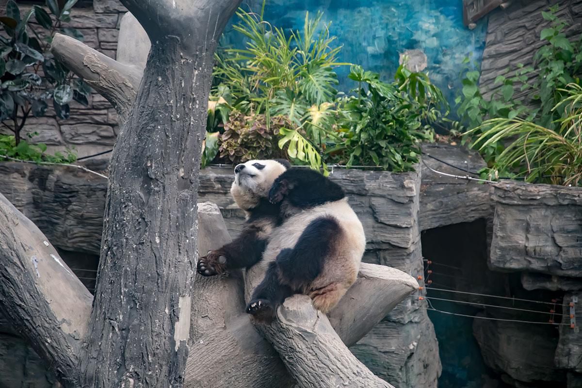 Павильон больших панд пекинского зоопарка декорирован камнями и отрезками бревен, растительность выбрана такая, которую они не употребляют.