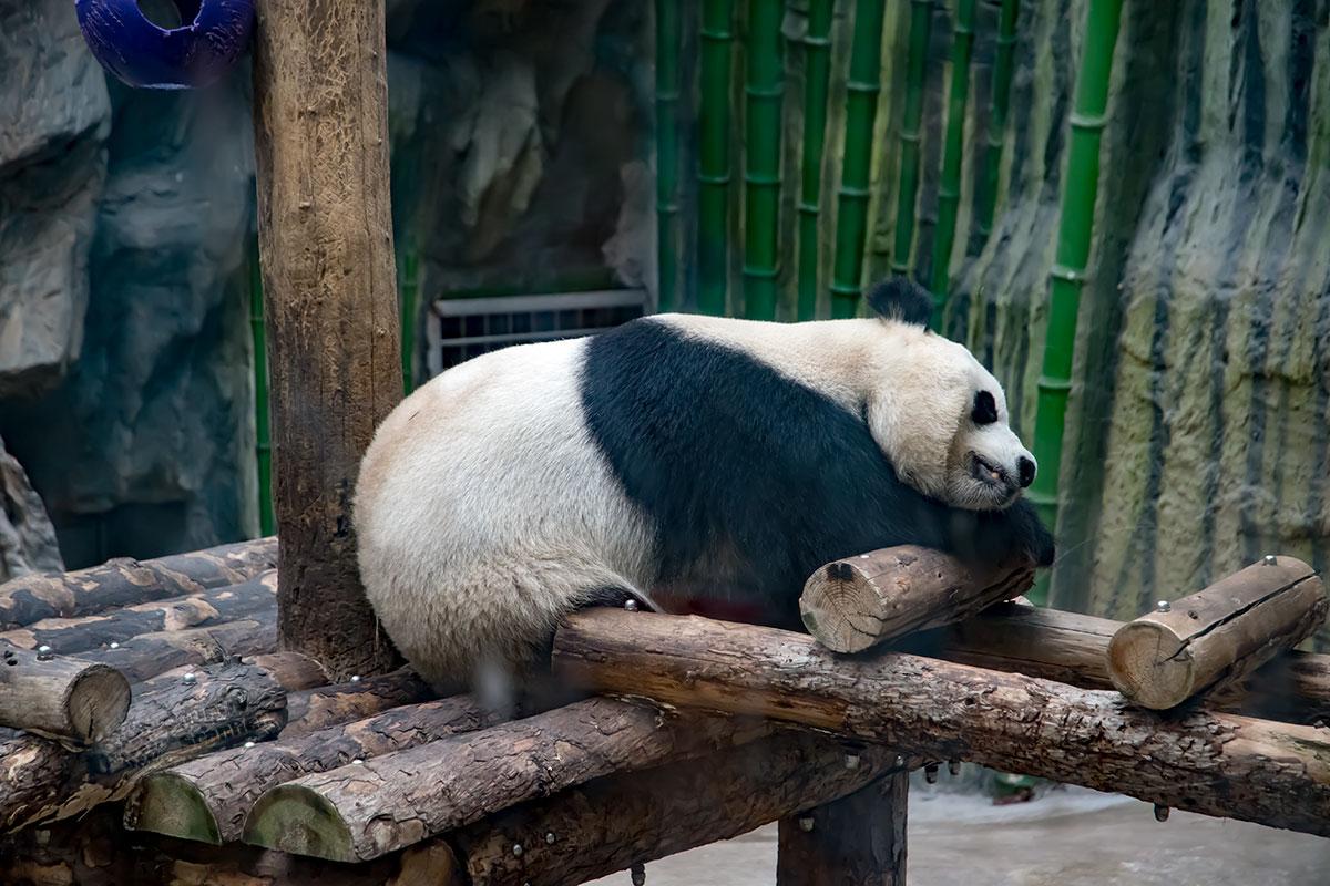 Большие панды пекинского зоопарка могут отдыхать где угодно, даже на сколоченном для них тренажере, пищу добывать здесь не приходится.