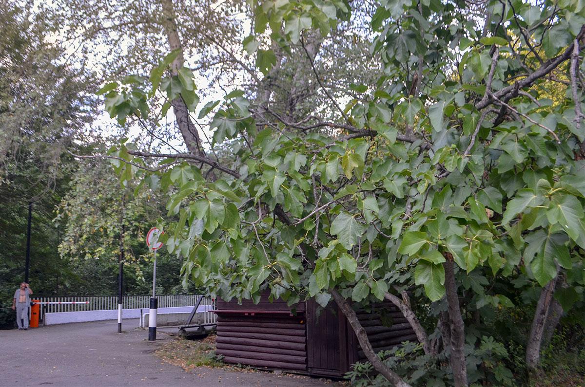 Платан с недозрелыми плодами листвой закрывает кассу, но Агурские сероводородные источники пока доступны бесплатно, в отличие от водопадов.