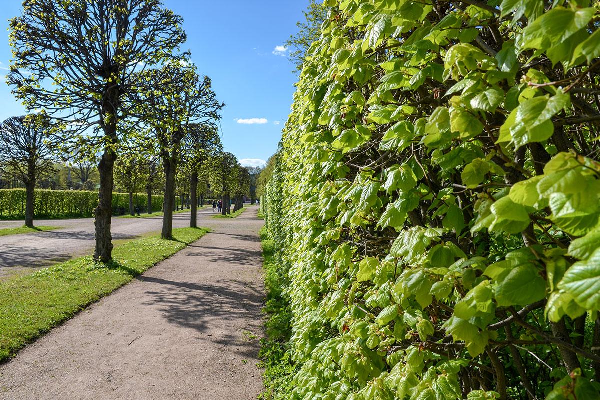 Парковые аллеи усадьбы Кусково формировались многими поколениями садовников, поддерживаются и нынешним персоналом.
