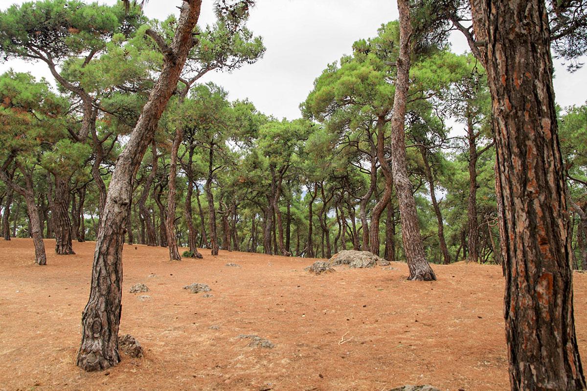 На Принцевых островах стараются сохранить уцелевшие от предыдущих поколений сосновые леса, отличающиеся редким видовым однообразием.