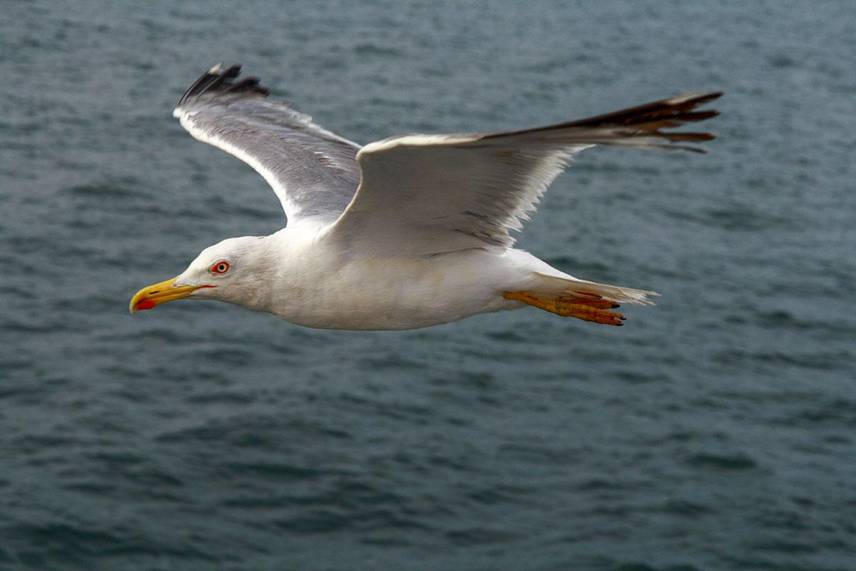 Морские чайки, мирные обитатели прибрежных вод, провожают туристические паромы на всем протяжении перехода из Стамбула на Принцевы острова.