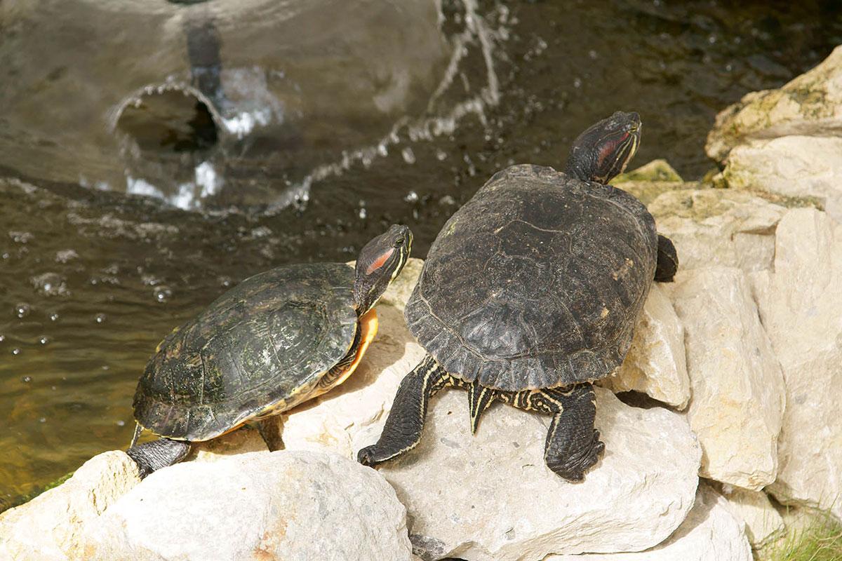 На территории палатки Динотерия в Коктебеле оборудован миниатюрный бассейн, в котором проживают небольшие пресноводные черепахи.