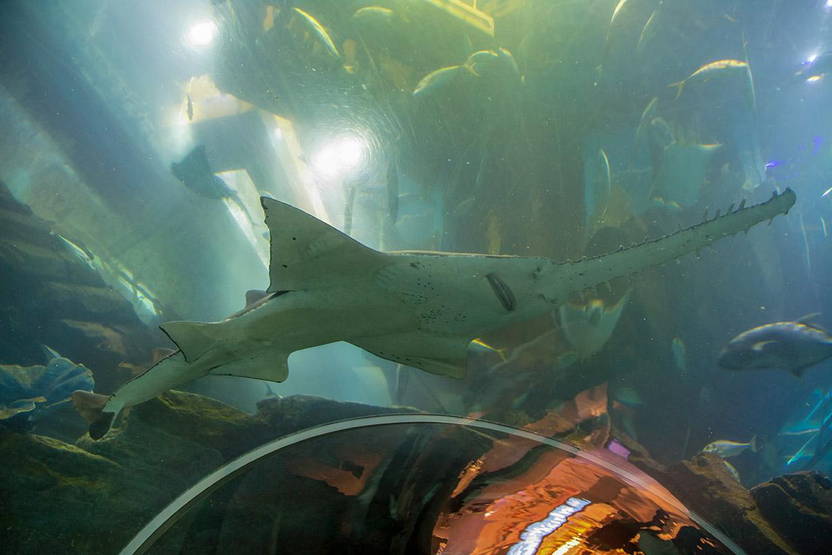 На входе в подводный тоннель аквариума в Дубай Молле повезло запечатлеть рыбу-пилу, точнее – пилорылого ската, использующего нос для рыхления грунта.
