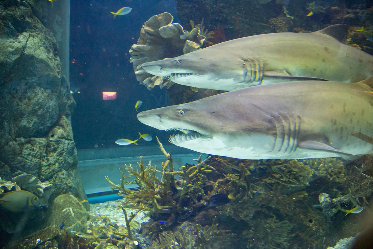 Аквариум в Дубай Молле содержит и демонстрирует посетителям крупнейшую популяцию песчаных акул, типичных представителей семейства.