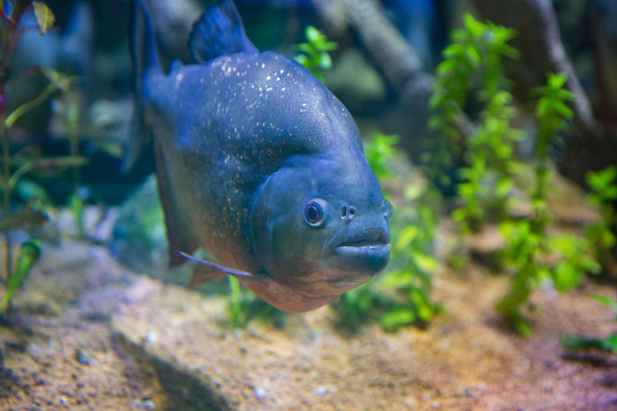 Популяцию небольших для аквариума в Дубай Молле, но крайне агрессивных пираний содержат в отдельной емкости во избежание потерь обитателей.