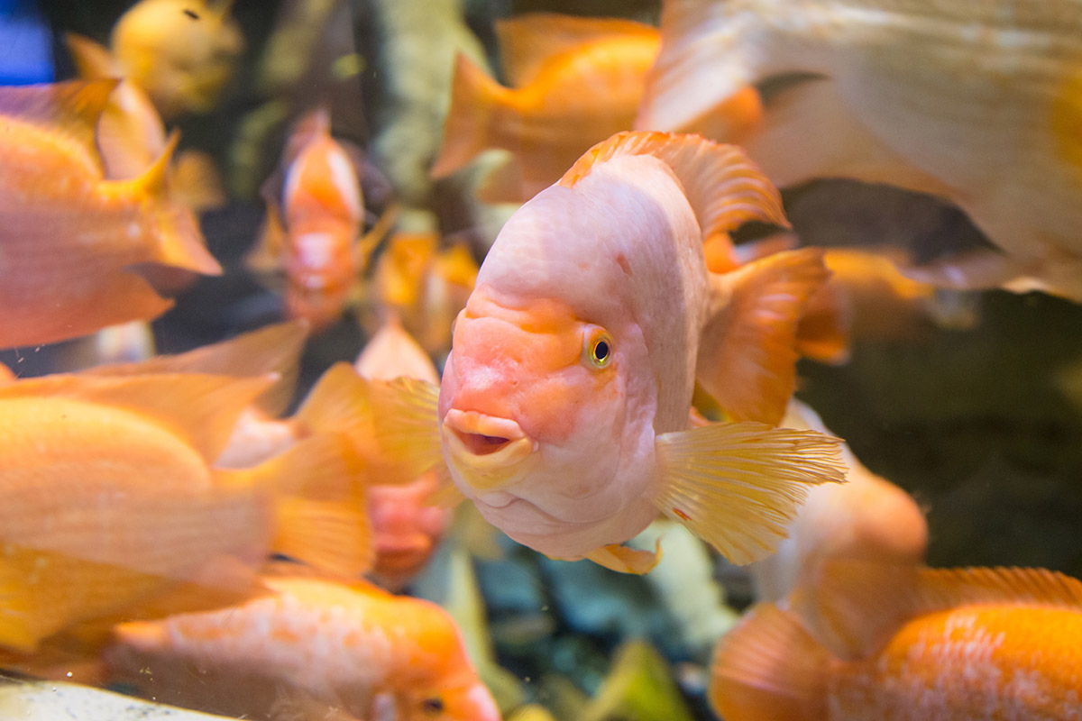 Отдельного содержания в аквариуме в Дубай Молле удостоились красиво окрашенные цитроновые цихлазомы, из-за их агрессивности и одновременно уязвимости.