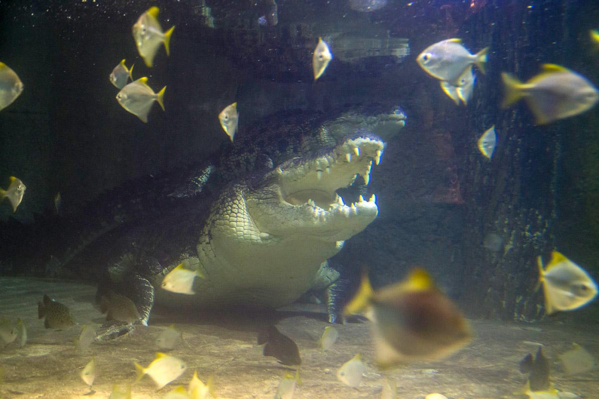 Король крокодилов уже вырос до пяти метров, весит 750 килограммов и способен расти в аквариуме в Дубай Молле еще не менее полувека, сейчас ему 40 лет.