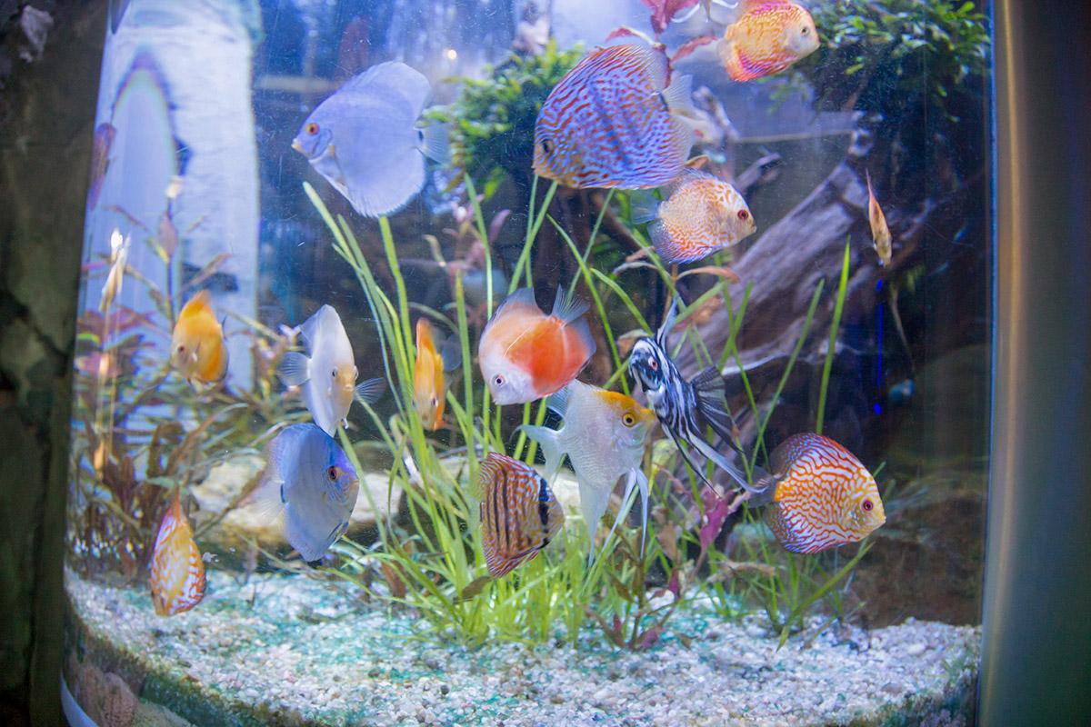 Дискусы, скалярии и прочие обитатели коралловых рифов в аквариуме в Дубай Молле привлекают внимание пришедших пестротой окраски.