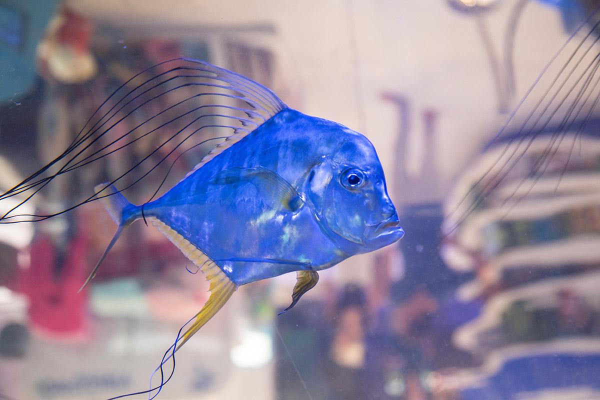 Запущенные в магазинную перегородку на третьем этаже аквариума в Дубай Молле рыбы селены из семейства ставридовых выглядят синими в отсветах грунта.
