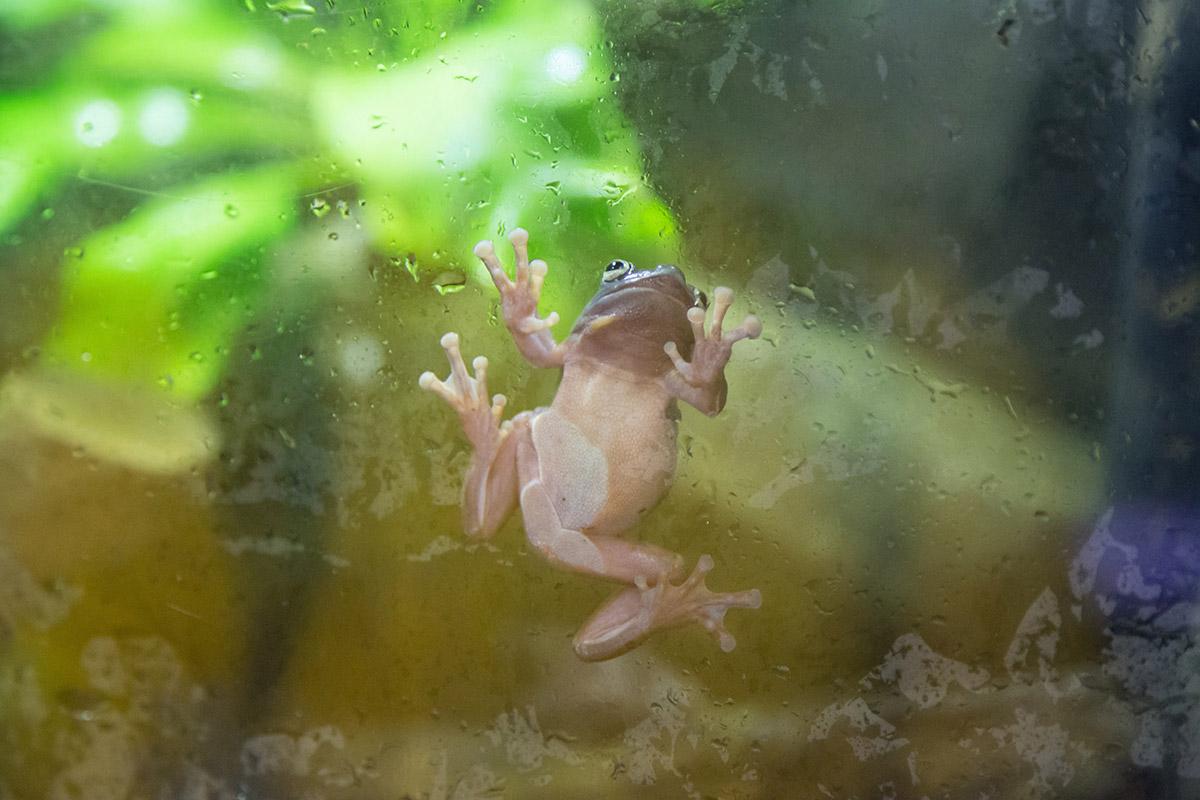 При осмотре вольеров аквариума в Дубай Молле, помимо основных обитателей, на глаза попадают и обыкновенные лягушки, ползающие по стеклам.