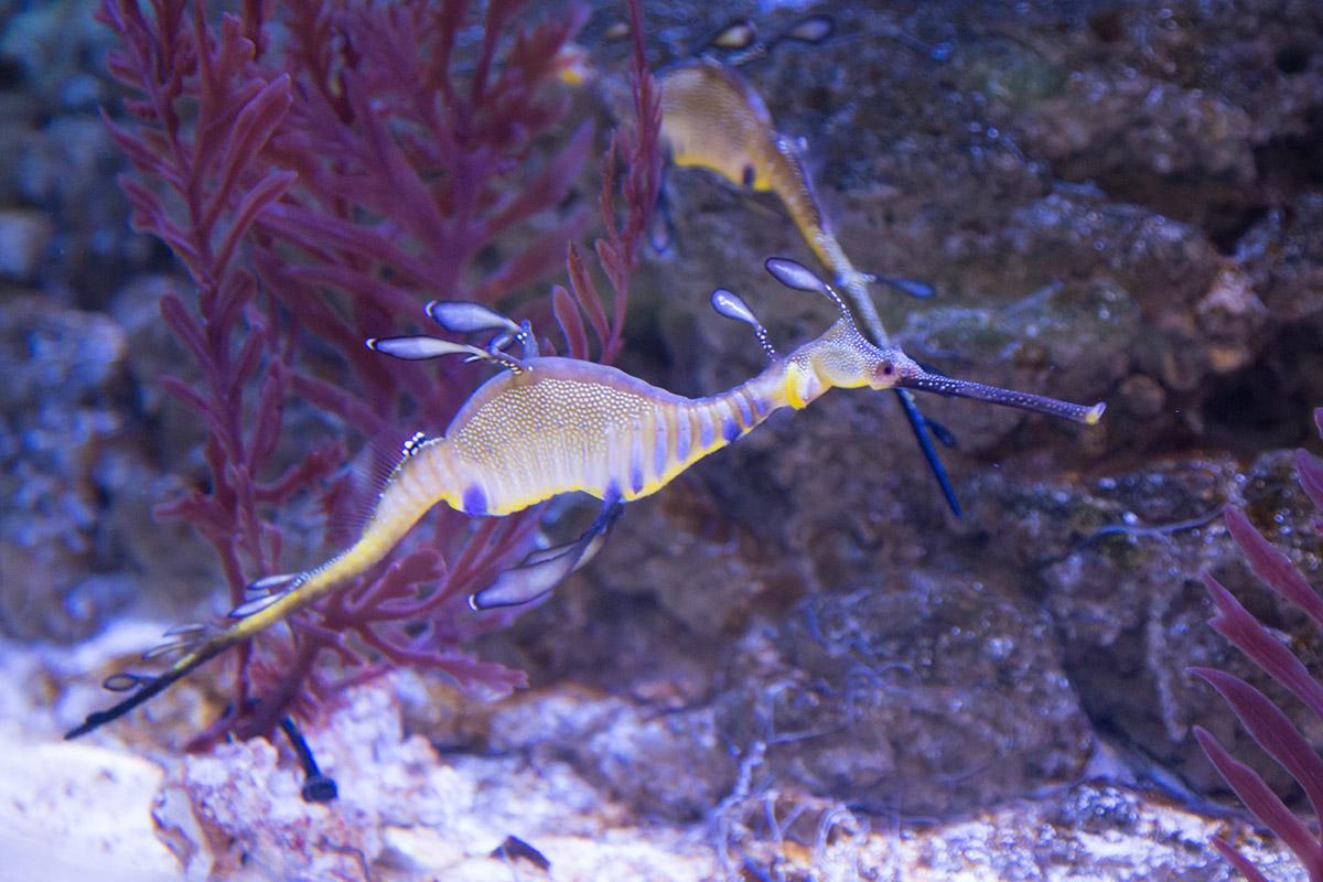Изредка посетителям аквариума в Дубай Молле удается увидеть морских коньков в процессе передвижения, которым они не злоупотребляют.