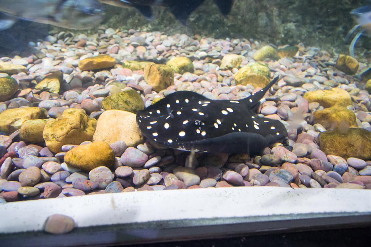 Словно утонувшая дамская шляпка, выглядит на дне аквариума в Дубай Молле скат леопольди, похожий на черную камбалу с белыми крапинками.