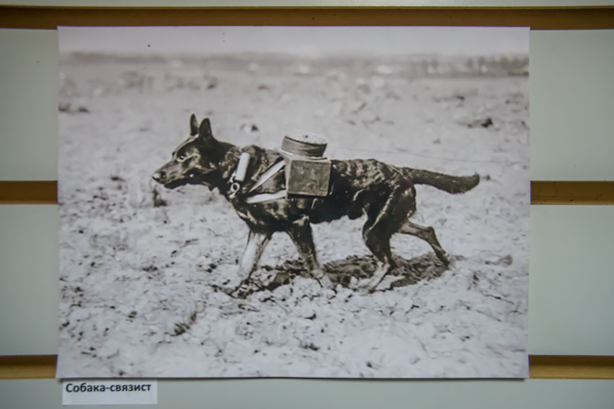 Среди экспонатов Музея Собаки, показывающих собак – воинов, выделяется фотография неизвестного военного корреспондента с псом-связистом, разматывающим кабель связи.