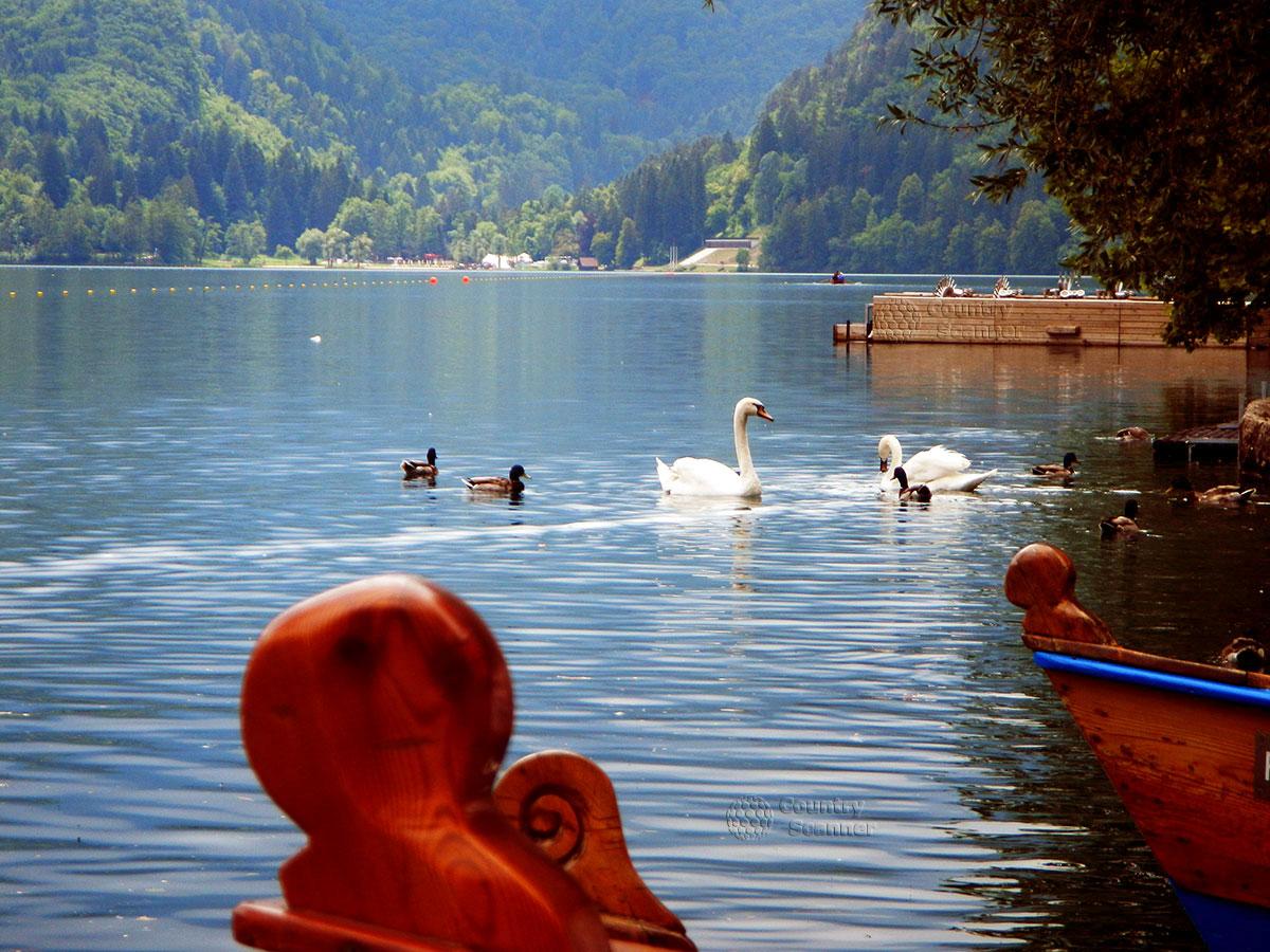Утки и лебеди на озере Блед