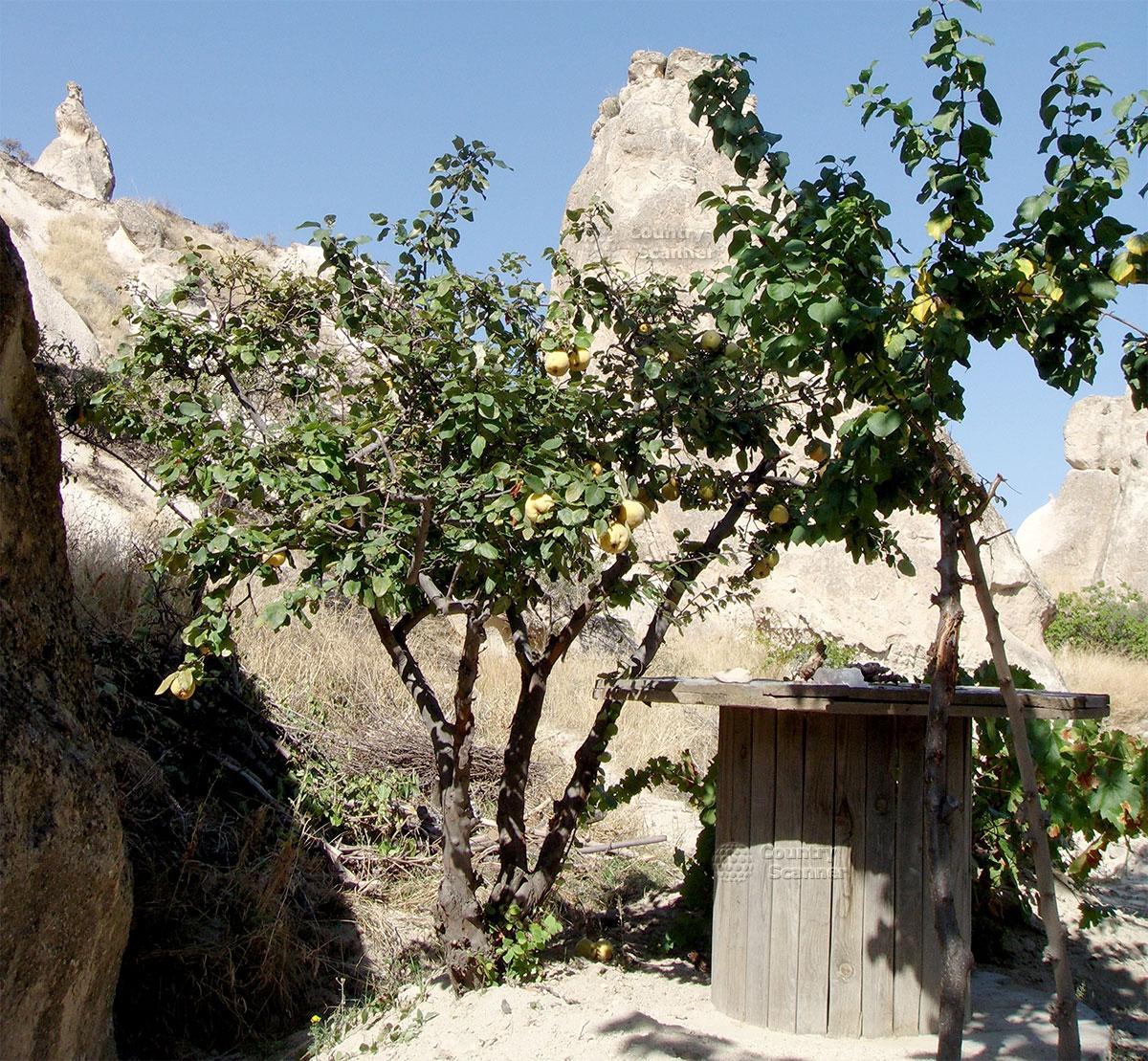 Айва рядом с пещерами Кападокии