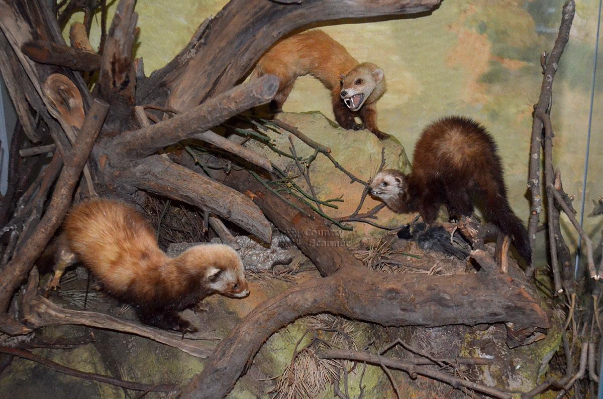 Музей природы. Хищники семейства куньих.