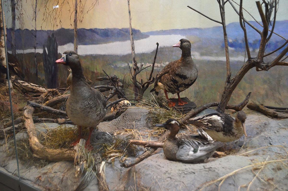 Утиное семейство в музее природы.