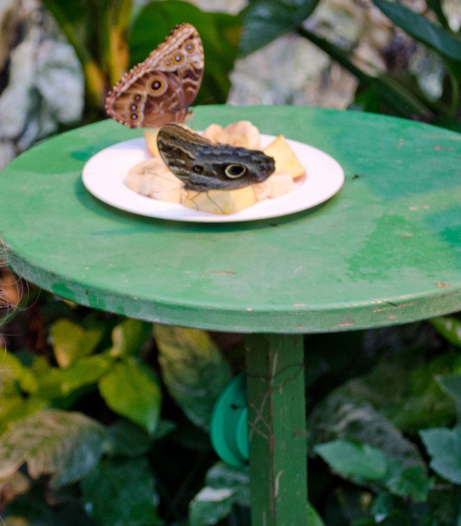 Тарелка с нектаром и фруктами - обед в Доме бабочек в Вене.