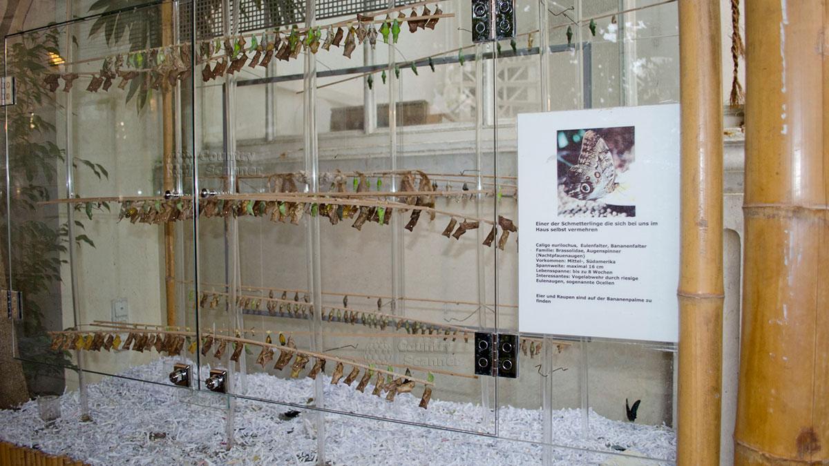 Дом бабочек в Вене. Витрина с коконами.