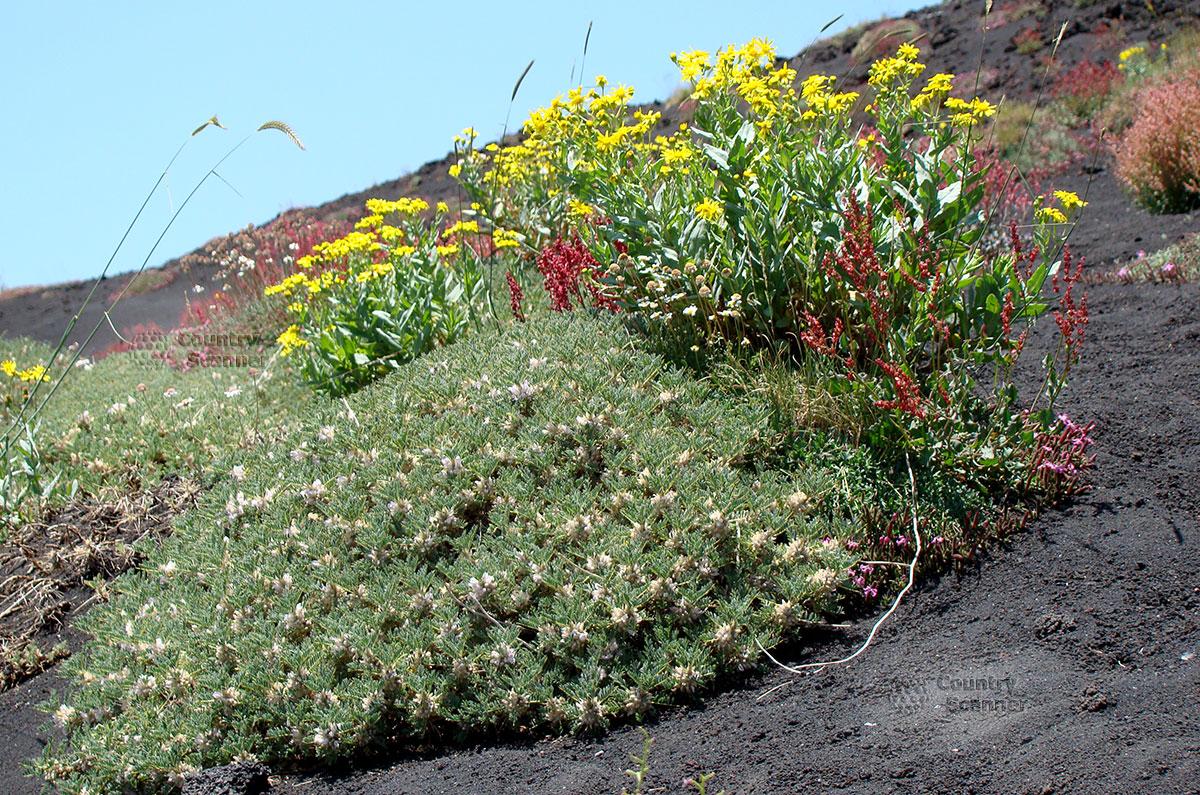 Островки растительности, растущих на вулканическом пепле вулкана Этна