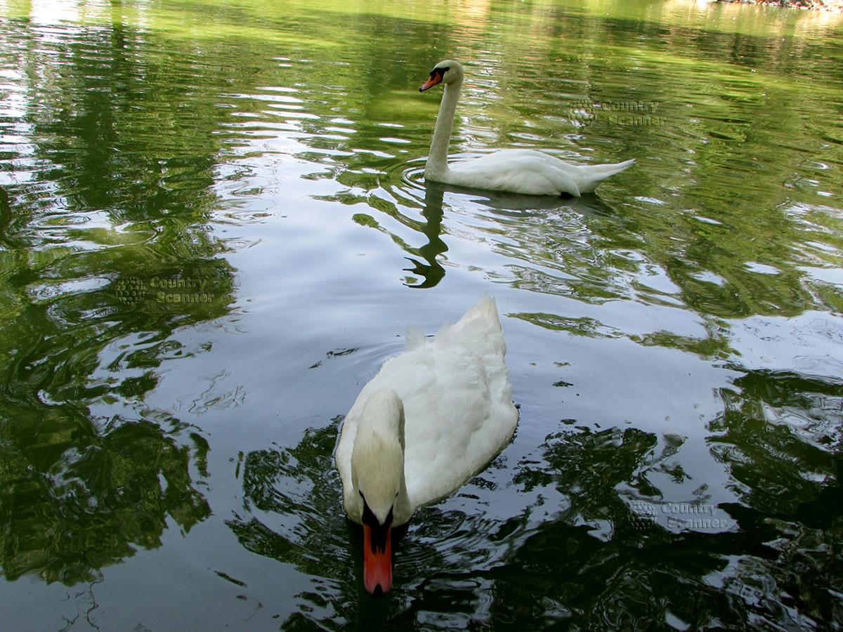 Пара белых лебедей в заповеднике Аскания-Нова