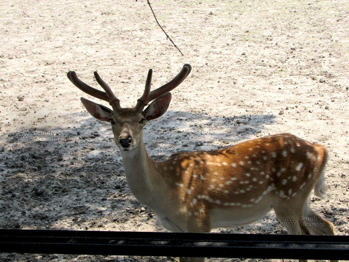 Пятнистый олень в заповеднике Аскания-Нова