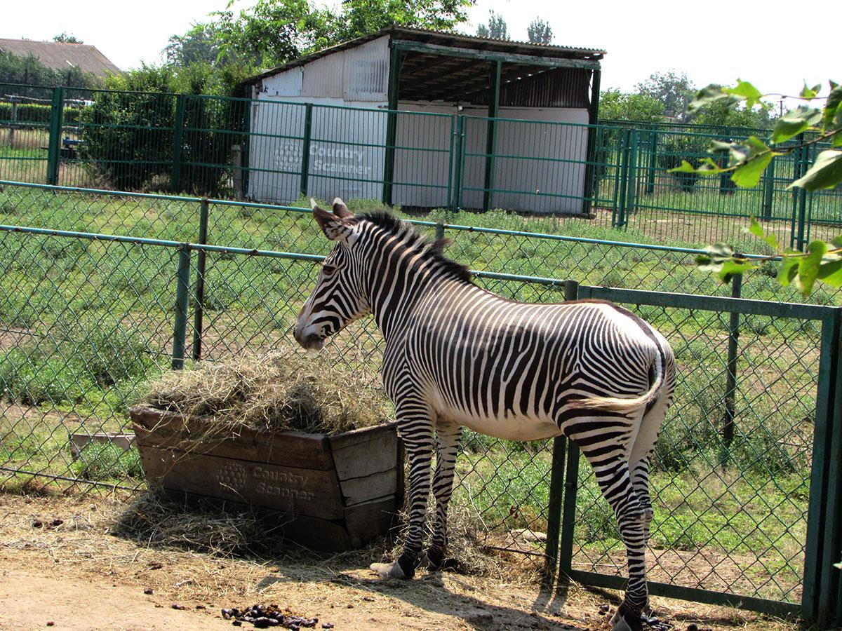 Зебра в заповеднике Аскания-Нова