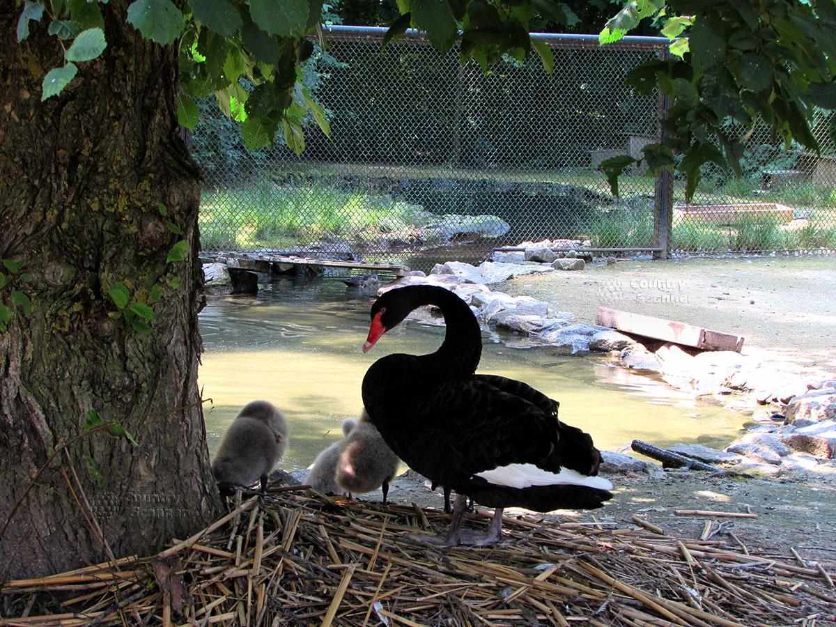 Черный лебедь в заповеднике Аскания-Нова